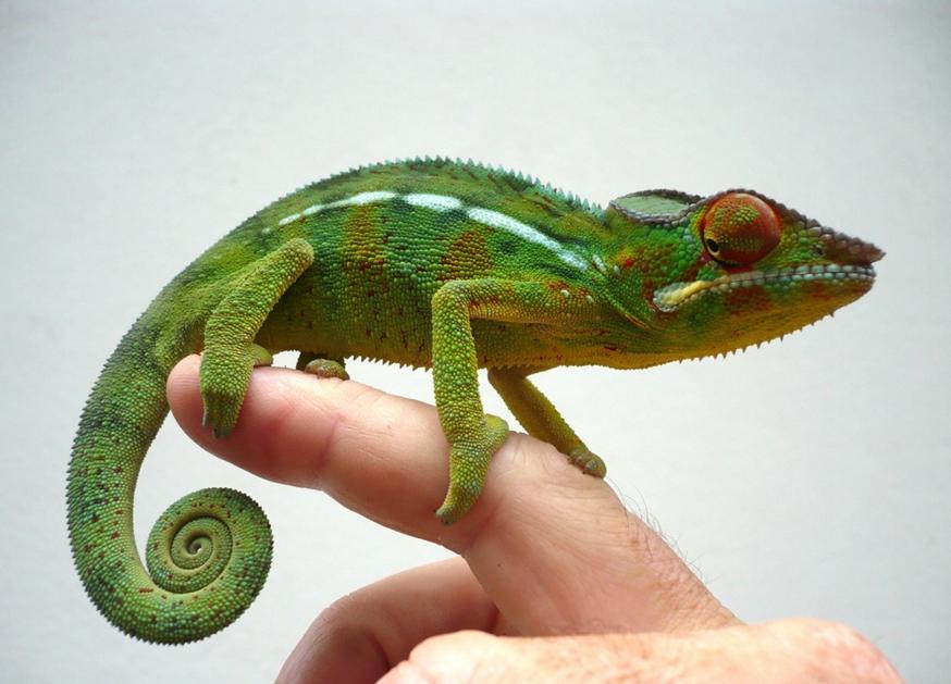 L'art du caméléon: enjeux culturels