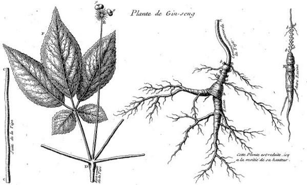 Ginseng et mondialisation des échanges aux XVIIIe et XIXe siècles (1): des Français, des Chinois et des Iroquois
